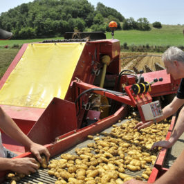 La pomme de terre Délicatesse®, du champ à l'assiette