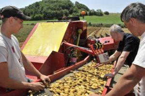 triage-recolte-pomme-de-terre-de-li