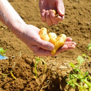 Les bienfaits de la pomme de terre
